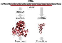 Protein coding genes are transcribed to an mRNA intermediate, then translated to a functional protein. RNA-coding genes are transcribed to a functional non-coding RNA.