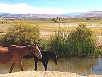 Reno Nevada and the Truckee Meadows south west of the Reno Tahoe International Airport has a large herd of mustang horses. These horses nurse and range around the runoff of Steamboat Creek. The mustang is a notable iconic image of the Nevada range land, which includes Reno.