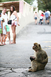 The semi-wild Barbary macaques are an integral feature in Gibraltar's tourism.