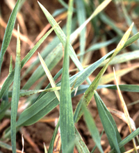Barley yellow mosaic virus