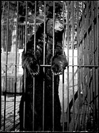 A bear in the Stanley Park Zoo, which is now permanently closed