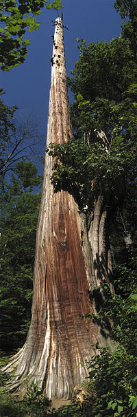 The National Geographic western red cedar before it was uprooted after being ravaged in 2006 by what is called in the US the Hanukkah Eve windstorm
