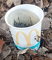 Stagnant water in a discarded McDonald's plastic cup