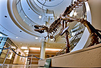 A T-Rex replica at the UC Museum of Paleontology
