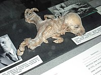 Piglet with dipygus on exhibit at the Ukrainian National Chornobyl Museum