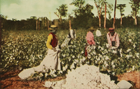 An illustrated depiction of African Americans picking cotton, 1913