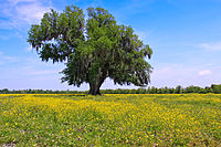 Field of yellow wildflowers in Saint Bernard Parish, Louisiana