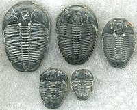 Trilobites first appeared during the Cambrian period and were among the most widespread and diverse groups of Paleozoic organisms.