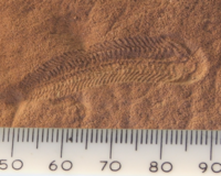 A 580 million year old fossil of Spriggina floundensi, an animal from the Ediacaran period. Such life forms could have been ancestors to the many new forms that originated in the Cambrian Explosion.