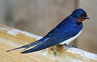 The barn swallow (H. r. rustica) is the national bird of Estonia.