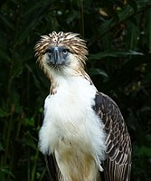 The Philippine Eagle is endemic to the forests of the country.