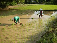 Filipinos planting rice. Agriculture employs 23% of the Filipino workforce.
