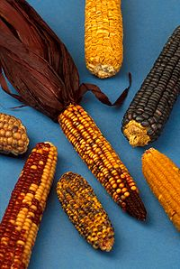 Maize grown by Native Americans