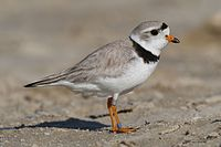 Many coastal areas in Massachusetts provide breeding areas for species such as the piping plover.
