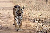 India has the majority—up to 70%—of the world's wild tigers, numbering nearly 3,000 in 2019, but the Bengal tiger is one of IUCN-designated endangered animals. Shown here is Maya, a Bengal tigress of the Tadoba Andhari Tiger Reserve, Maharashtra.