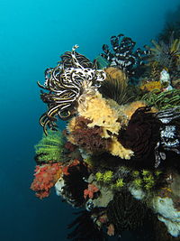 Multiple crinoids on a reef in Indonesia