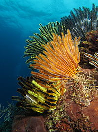 Colorful crinoids in shallow waters in Indonesia