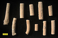 Middle Jurassic (Callovian) Apiocrinites crinoid pluricolumnals from the Matmor Formation in southern Israel