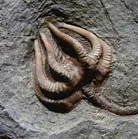 Agaricocrinus americanus, a fossil crinoid from the Carboniferous of Indiana