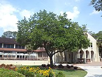 Quercus virginiana (Live oak), the state tree at Valdosta State University