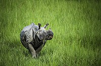The greater one-horned rhinoceros roams the sub-tropical grasslands of the Terai plains.