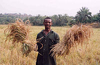 A farmer with his rice harvest in Sierra Leone. Two-thirds of Sierra Leone's population are directly involved in subsistence agriculture.