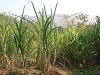 Freshly grown sugarcane, agriculture is the second leading occupation in Maharashtra