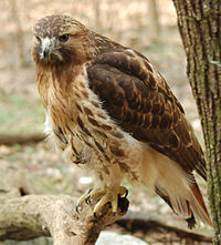 Red-tailed hawk, one of the bird species found in Central Park