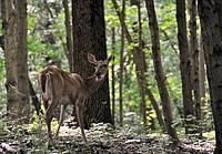 A white-tailed deer in Eagle Creek Park, one of the largest municipal parks in the U.S.