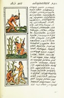 Cultivation of maize, shown in the Florentine Codex (1576) drawn by an indigenous scribe, with text in Nahuatl on this folio