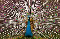 A typical Indian peacock, found in Allahabad on a large scale