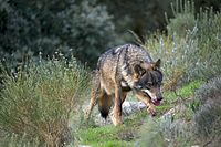 The Iberian wolf in Castile and Leon. The region has the 25% of the land covered by Natura 2000 protected natural spaces.