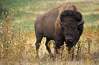 American bison or buffalo; their numbers collapsed in the 1870s forcing the Native Americans who hunted them to depend instead on government-issued food supplies on their reservations.