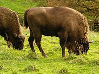 Once roaming the great temperate forests of Eurasia, European bison now live in nature preserves in Białowieża Forest, on the border between Poland and Belarus.