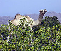 A camel in the northern mountains.
