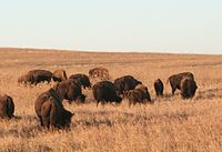 Populations of American bison inhabit the state's prairie ecosystems.
