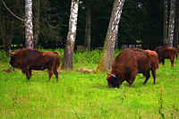 Białowieża Forest, an ancient woodland in eastern Poland and a UNESCO World Heritage Site, is home to 800 wild wisent.