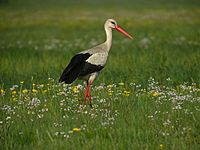 Poland is host to the largest white stork population in Europe.