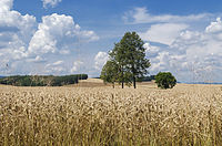 Wheat fields in Greater Poland