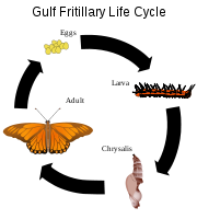 Gulf fritillary life cycle, an example of holometabolism.