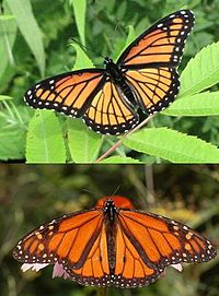 Perhaps one of the most well-known examples of mimicry, the viceroy butterfly (top) appears very similar to the monarch butterfly (bottom).