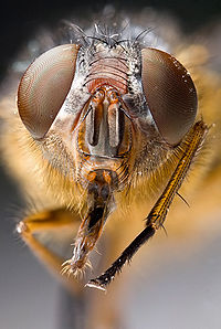Most insects have compound eyes and two antennae.