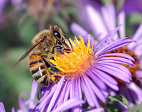 Because they help flowering plants to cross-pollinate, some insects are critical to agriculture. This European honey bee is gathering nectar while pollen collects on its body.