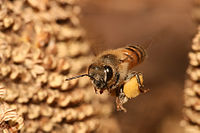 European honey bee carrying pollen in a pollen basket back to the hive