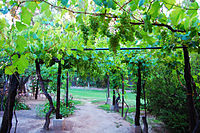 Grape plantation in Argentina. Argentina and Chile are among the 10 largest grape and wine producers in the world and Brazil among the 20 largest.