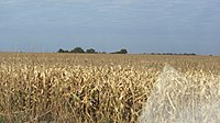 Maize in Dourados. Brazil and Argentina are among the 5 largest world producers