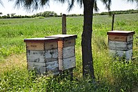 Honey production in Argentina. The country is the third largest producer of honey in the world.