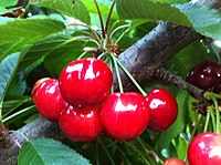 Chilean cherries. Chile is one of the top 5 producers of sweet cherries in the world.