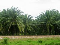 Palm plantation in Magdalena. Colombia is one of the top 5 palm oil producers in the world.