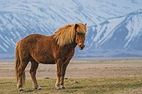 The Zaniskari is a horse breed of Ladakh, well adapted to the hypoxic Kashmiri environment